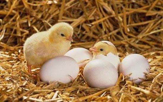 小鸡出壳;; 新生小鸡会计数; 刚出生的小鸡会计数