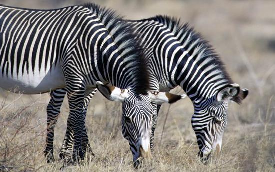很久以来,斑马为什么会有色彩对比强烈的黑白花条纹,对我来说一直是个不解之谜。在非洲大草原上,这身打扮实在是太显眼了,这使它们很容易成为狮子、土狗之类食肉动物的攻击目标。而且,就是吃肉的狮子和土狗,也有着与环境相匹配的保护色呢。   斑马为什么有黑白条纹?我曾经多次向人请教过这个问题。有人一本正经地说,这种条纹可以让智商差点的捕食者分不清斑马的头和尾。而众所周知,斑马的后腿十分强劲有力,不小心站到后面的捕猎者必受重伤。我不以为这种说法能有多少道理。有人说是因为斑马天生爱美,还有人说这是造物主一时疏忽。