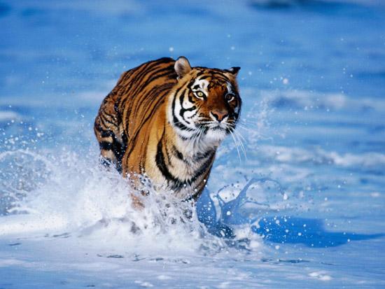 在笼子里的老虎三餐无忧