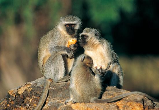 钻在狼怀里取暖的猴子图片